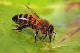 دانلود پاورپوینت تولید ملكه زنبور عسل اصلاح شده